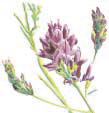 Ingredients-alfalfa-flower