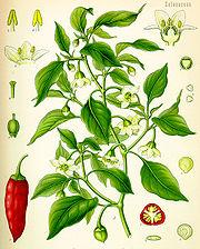 Jalapeño plant