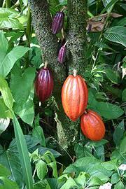 Cocao plant