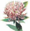 Clover Blossom