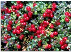Cranberries on plant