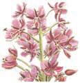 Fireweed Flower