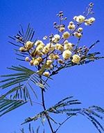 Guajillo Flowers