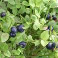 Huckleberries on plant