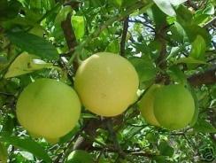 Key limes on tree