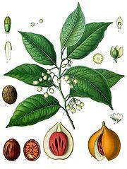 Myristica Fragrans produces Nutmeg and Mace
