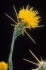 Star Thistle Flowers